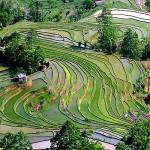 Рисовые террасы4