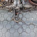 Проросшие корни дерева, Банкок