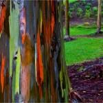 Eucalyptus deglupta1