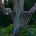 Eucalyptus deglupta10