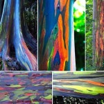 Eucalyptus deglupta11