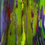 Eucalyptus deglupta12