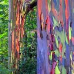 Eucalyptus deglupta5