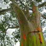 Eucalyptus deglupta6