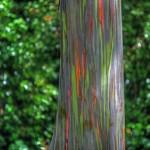 Eucalyptus deglupta8