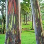 Eucalyptus deglupta9