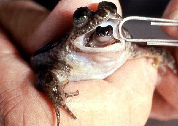 Rheobatrachus, рожают через рот