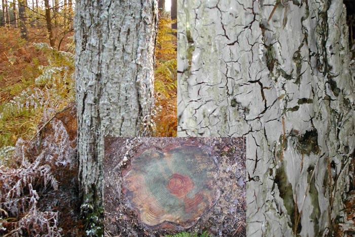 Лес Рендлсхэм, странное белое дерево