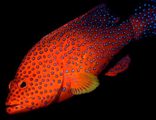 Коралловая форель, coral trout