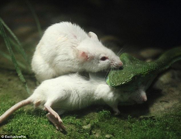 Реинкарнация, мыши