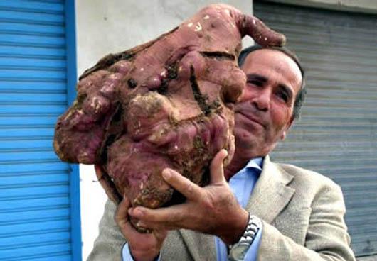 Книга рекордов Гиннеса, самая большая картошка, Х. Семхат