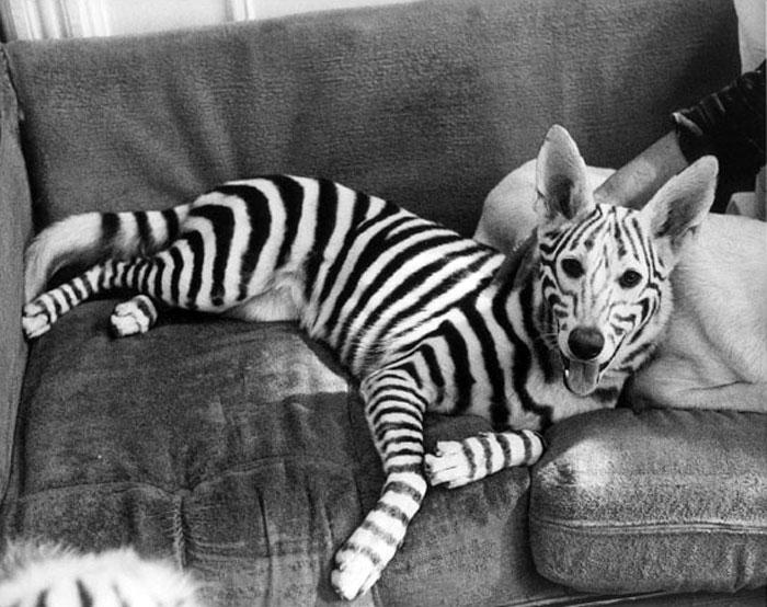 sobaka-zebra